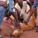 RDC : interdiction de vendre la viande de chien à Lubumbashi