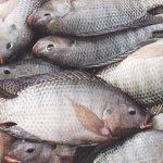 Goma : Le poisson tilapia toujours vendu et consommer alors que interdit par le gouvernement congolais