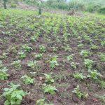 Rutshuru : Plusieurs centaine d'hectare de plantation agricole dévastés par les animaux sauvages