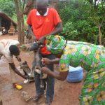 Sud-Ubangi: Des chèvres et moutons vaccinés contre la peste à Zongo et Libenge